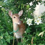 水鹿、梅花鹿都有!全台3处小奈良与「小鹿斑比」相见欢