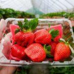 懒人包都帮你整理好了!特搜北中南采草莓热点 4诀窍玩更尽兴